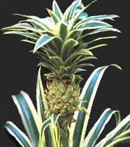 Славянск - ananas.jpg