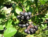 Славянск - Черноплодная рябина