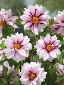 Славянск - Георгины выращивание