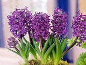 Гиацинт - аромат весны