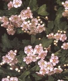 Славянск - боярышник