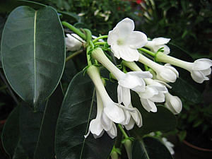 Славянск - Stephanotis