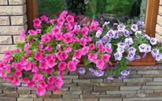 Славянск - петуния выращивание