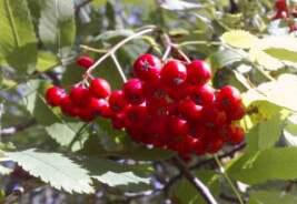 Славянск - рябина, лекарственные растения