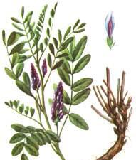 Славянск - солодка, лекарственные растения