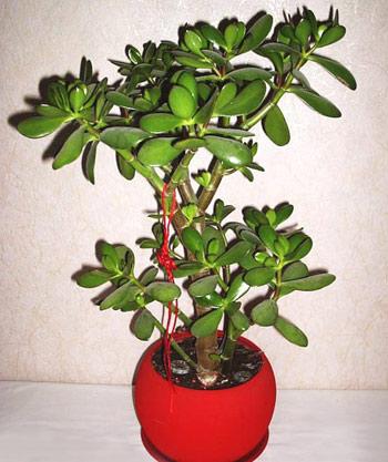 Толстянка,  денежное дерево