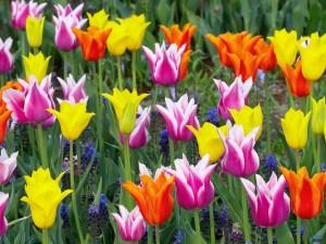 Тюльпаны -  посадка, вырщивание, уход